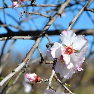 Floraison d'amandier