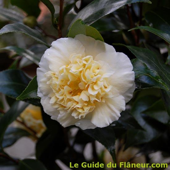 Une fleur de Camélia