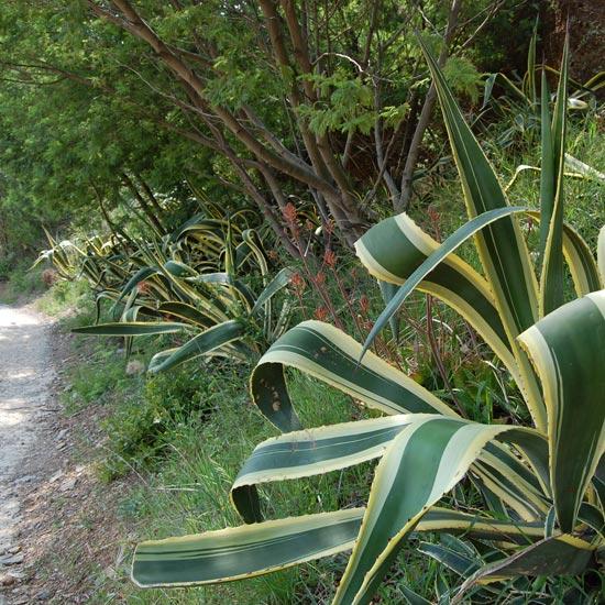 Aloes en bordure de chemin