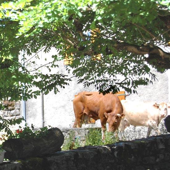 Les vaches habitent le village