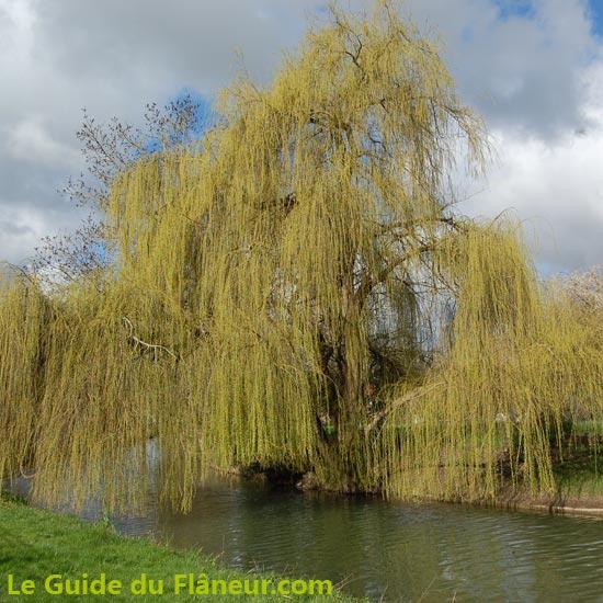 Un Saule Pleureur dans le Marais