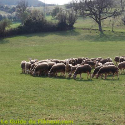 Un troupeau de Brebis