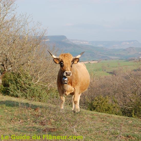 Vache Aubrac sur les hauteurs
