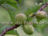 Arbres fruitiers bios