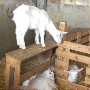 Les chèvres de l'Abbaye d'Asnière