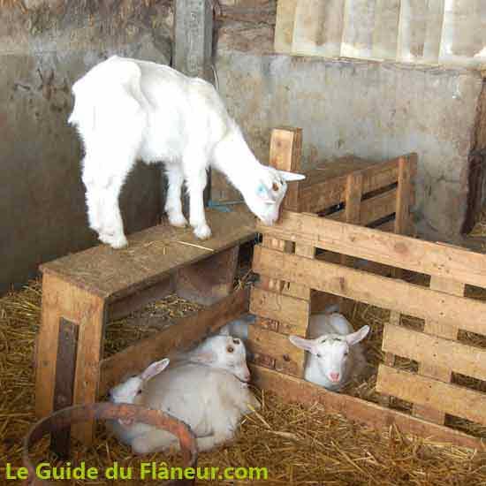 L'élevage de chèvres de l'abbaye d'Asnière