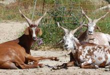 Les chèvres de Clansaye