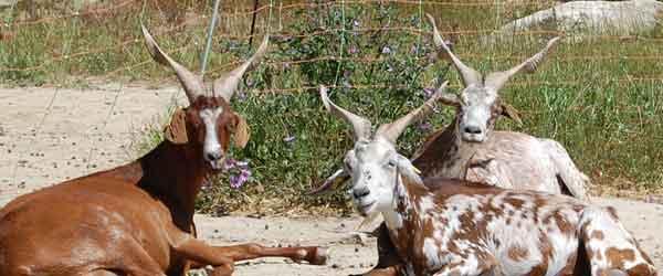 Elevage de chèvres à Clansayes - Drôme