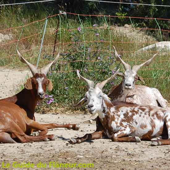 Elevage de Chèvres du Rove à Clansayes
