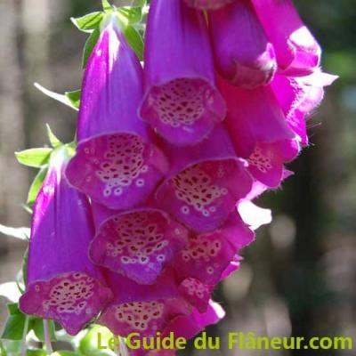 Digitale fleur