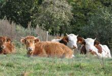 Elevage de veau biologique