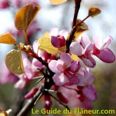 Fleur arbre judee