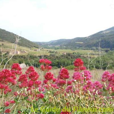 Floraison lilas sauvage