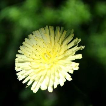 Plantes et fleurs de bords de chemins - La piloselle
