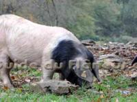 Porcs cul noir