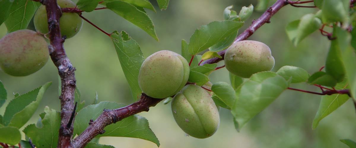 Prodructeur d'arbres fruitiers