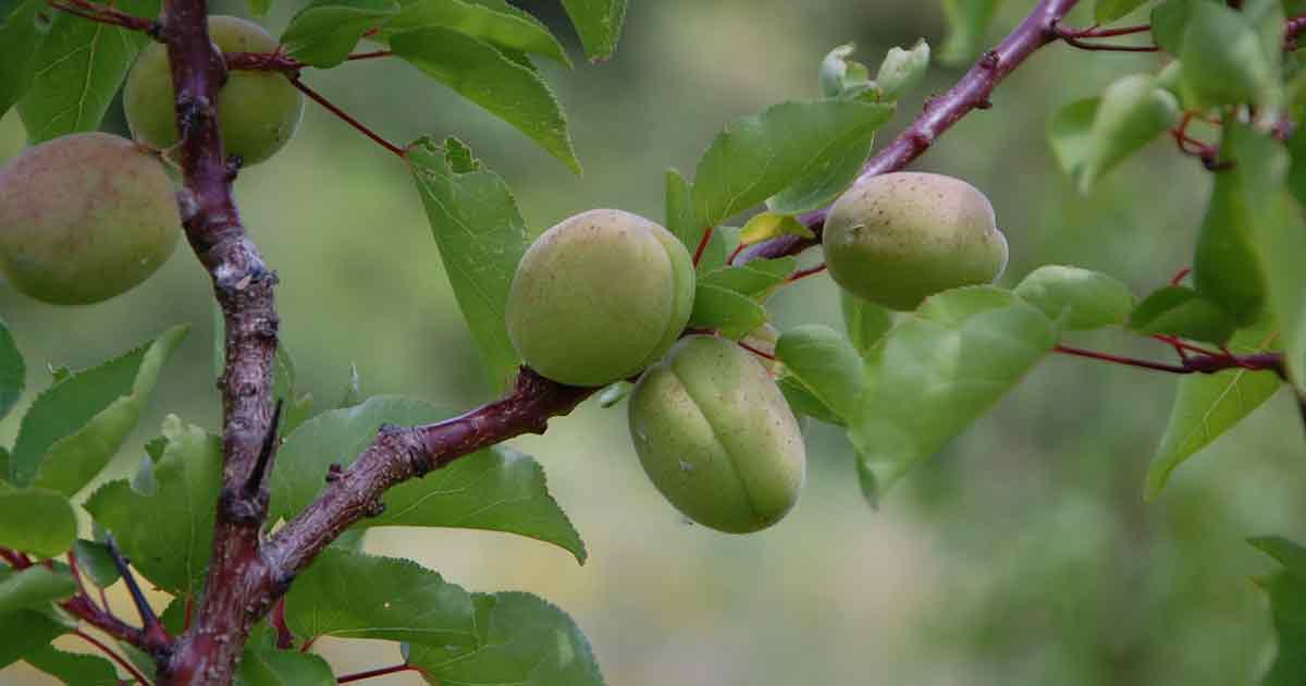 Producteur local d'arbres fruitiers
