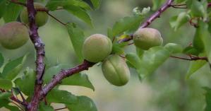 Producteur d'arbres fruitiers