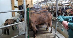 Les fromages de chèvres de Sylvie