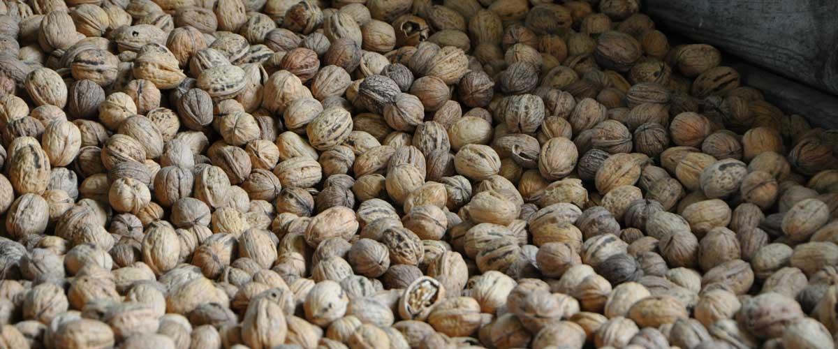 Producteur de noix à Bilhac