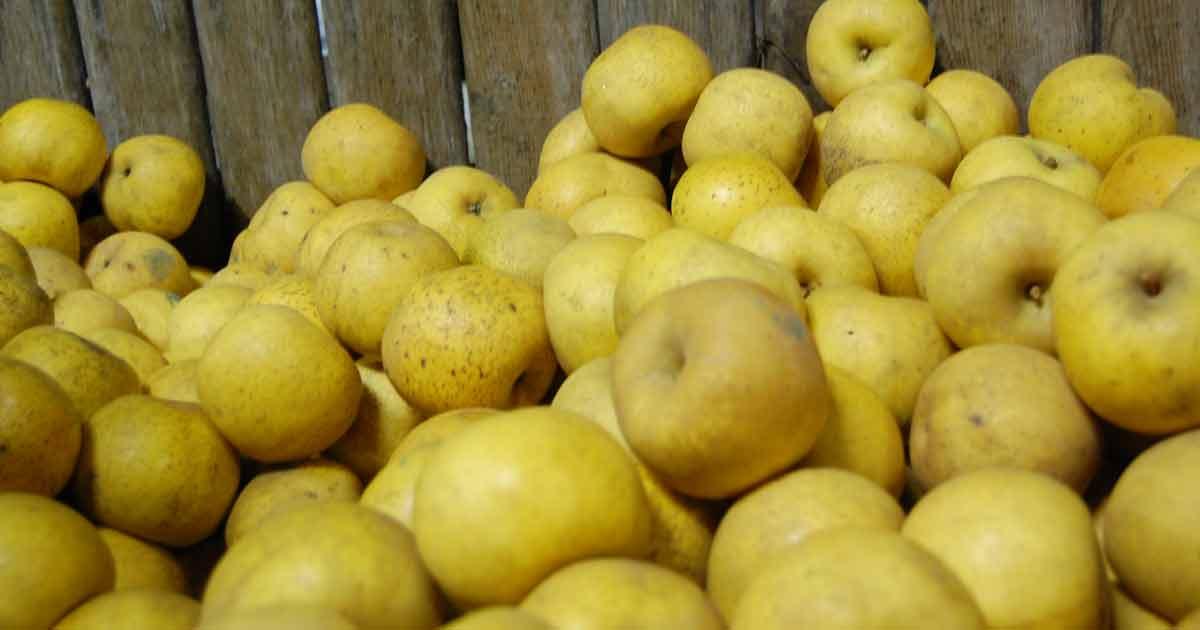 Producteur de pommes à Béceleuf