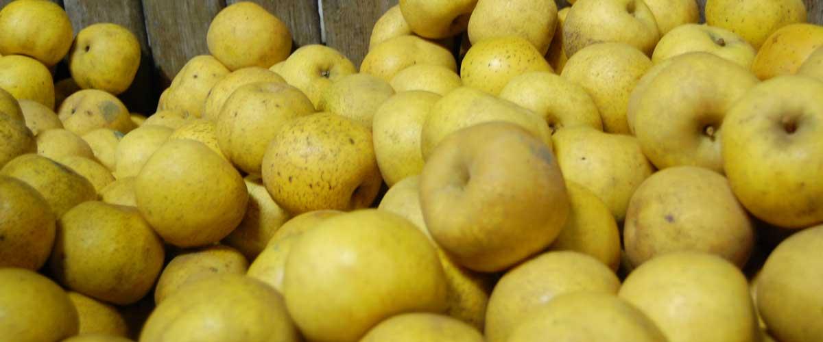 Les pommes de Béceleuf