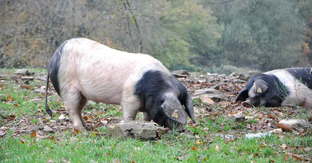 Producteur de porcs Cul Noir