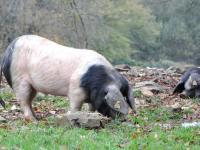 Producteur porc cul noir