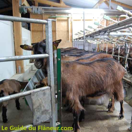 Le chèvres à la traite