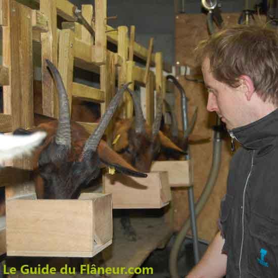 Elevage de chèvres de Bugarach dans l'Aude