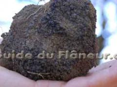 Truffe richerenches