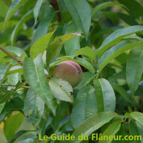 Producteur d'arbres fruitiers bios