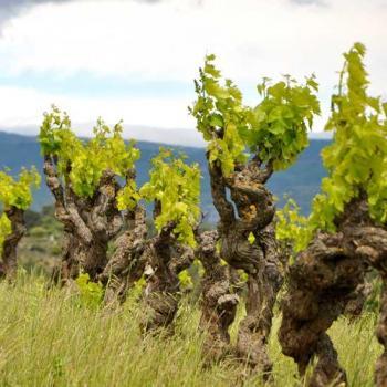 Des vignes anciennes