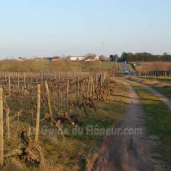 Vignes des côteaux du Layon