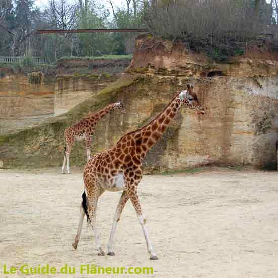 Les girafes du Bioparc de Doué-la-Fontaine