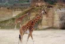 Girafes du zoo de Doué-la-Fontaine