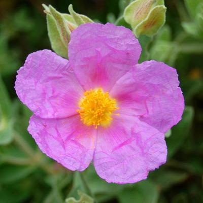 Fleur du ciste