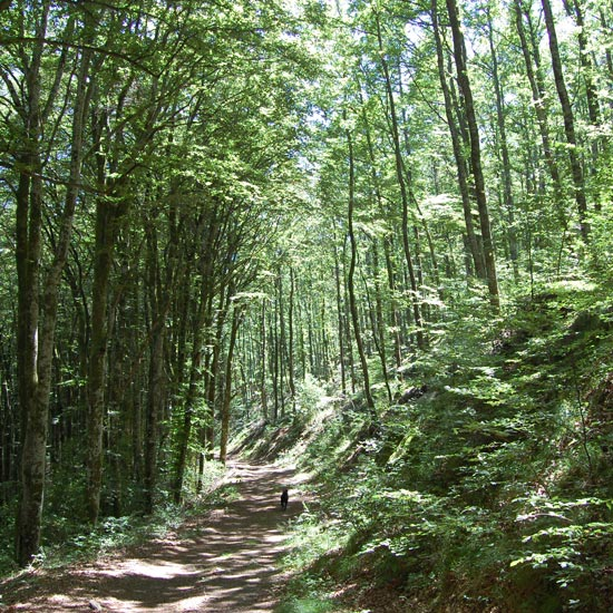 Le chemin dans la forêt de hêtres