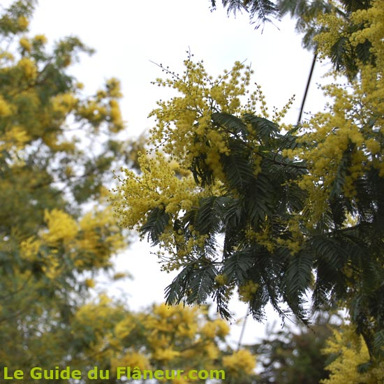 Mimosas en fleurs