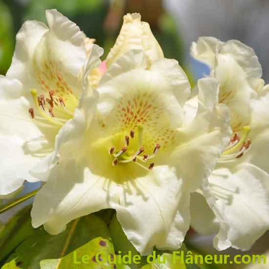 Les rhododendrons de Combrit