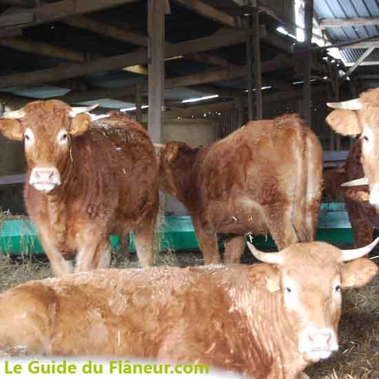 Les vaches parthenaises