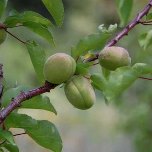 Arbre fruitier bio producteurs locaux