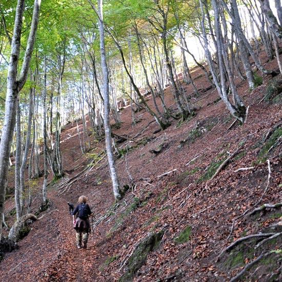 Chemin dans une forêt de hêtres