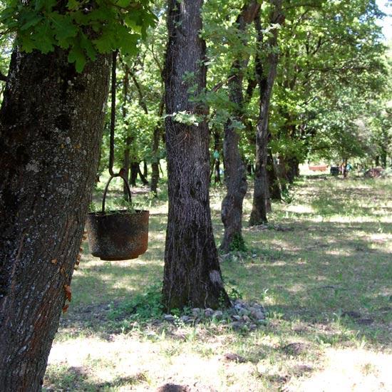 Chênes truffiers