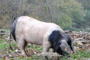 Porc cul noir 1