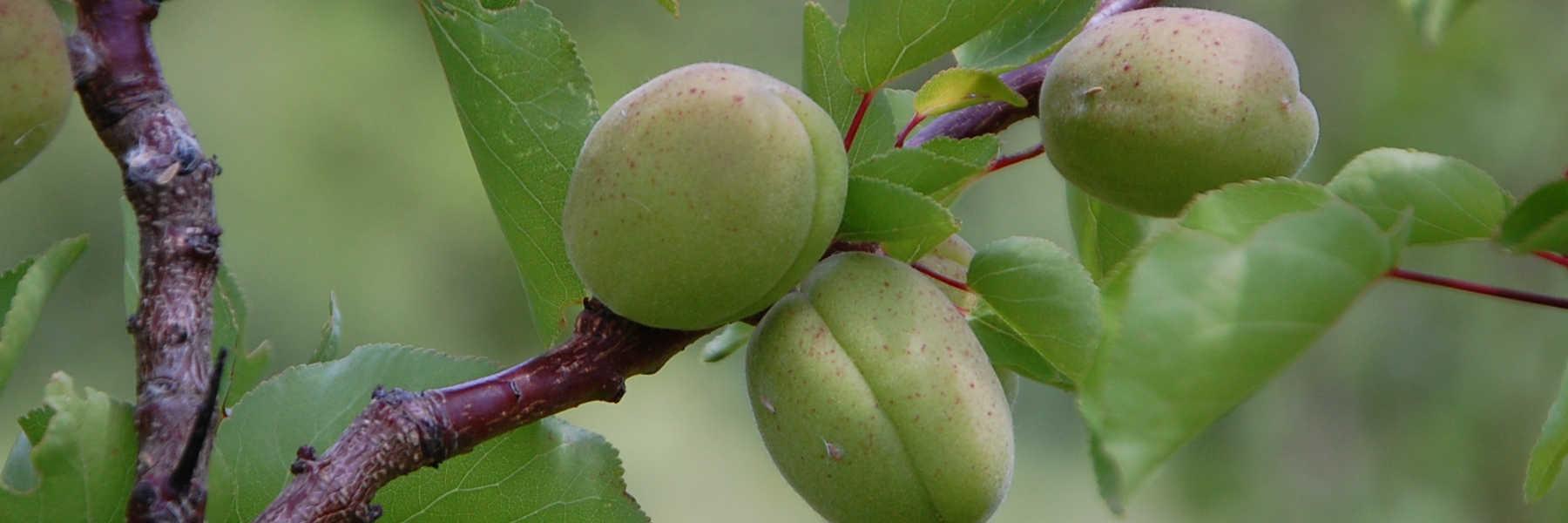 Producteur d'arbres fruitiers bio