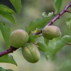 Producteur arbres fruitiers bio 2