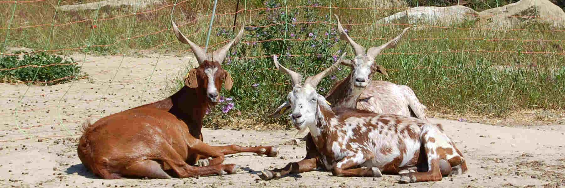 Producteur de chèvres à Clansayes