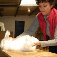 Production de laine angora