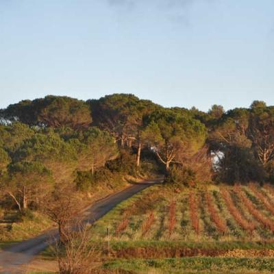 Entre vignes et pins